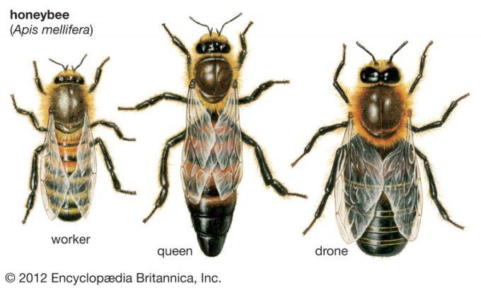 Mengenal Lebah Madu