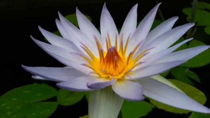Ciri-ciri Bunga Teratai. Nymphaea Gigantea Violacea