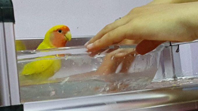 Cara Merawat Burung Lovebird Lengkap Dan Jelas Disertai Gambar