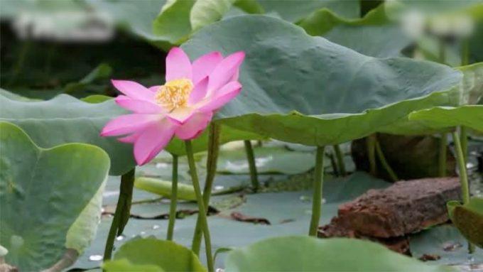 Tumbuhan yang Hidup di Air. Lotus