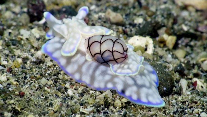 Hbl Siput Laut