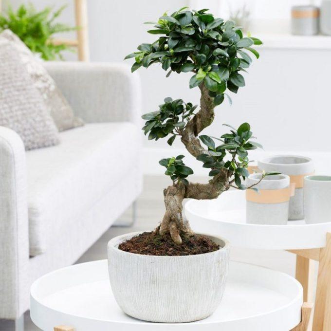 Tha Ficus Microcarpa Bonsai