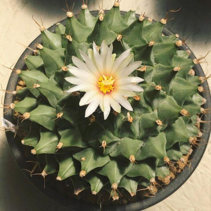 Tanaman Hias Dalam Pot. Kaktus Bunga