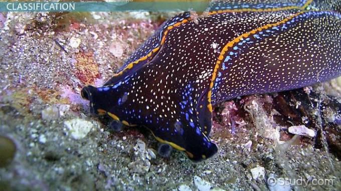 Contoh Hewan Invertebrata. Platyhelminthes