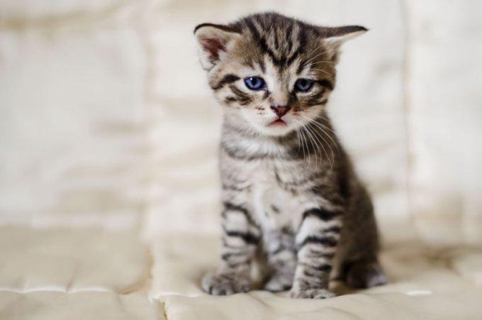 Chv Kucing