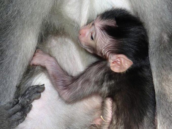 Contoh Hewan Vivipar. Monyet