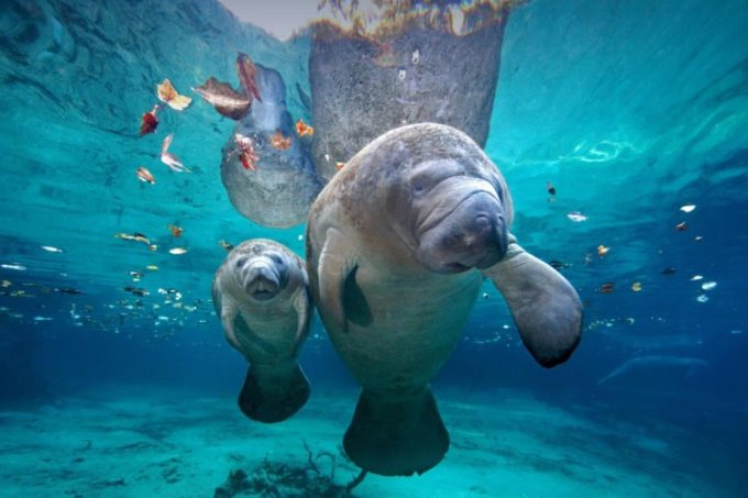 Hewan yang Hidup di Air. Lembu Laut