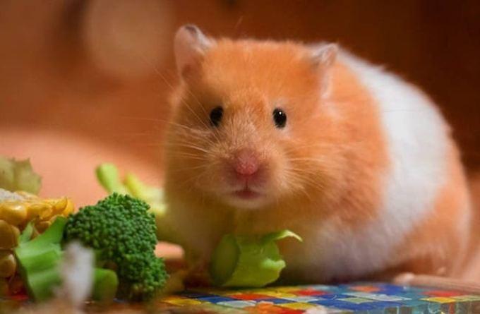 Hewan yang Hidup di Darat. Hamster