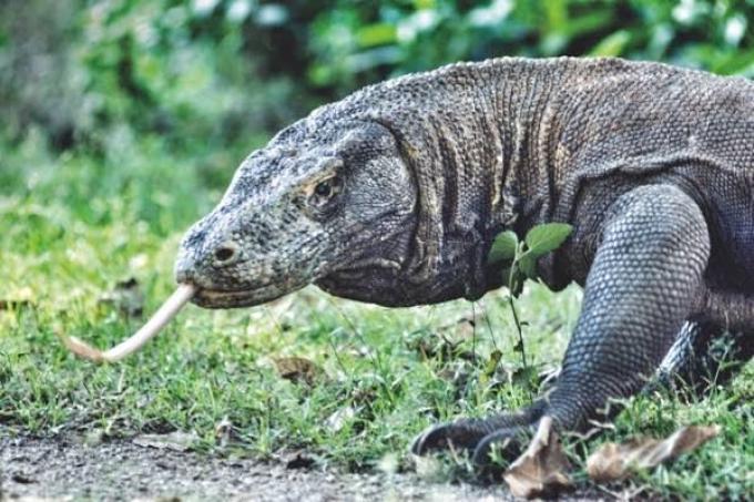 Hewan yang Hidup di Darat. Komodo