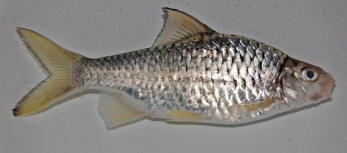 ikan air tawar gengghek