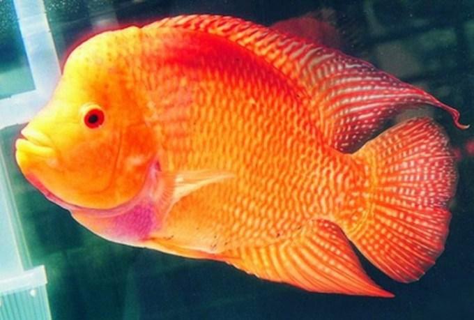 ikan air tawar louhan