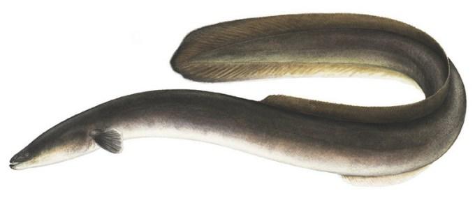 ikan air tawar belut