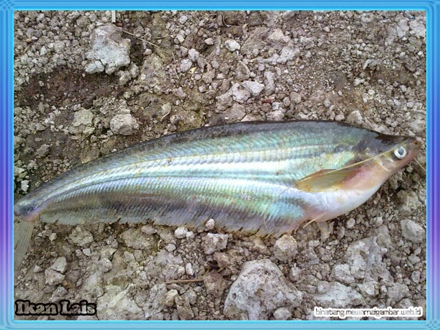 ikan air tawar lias