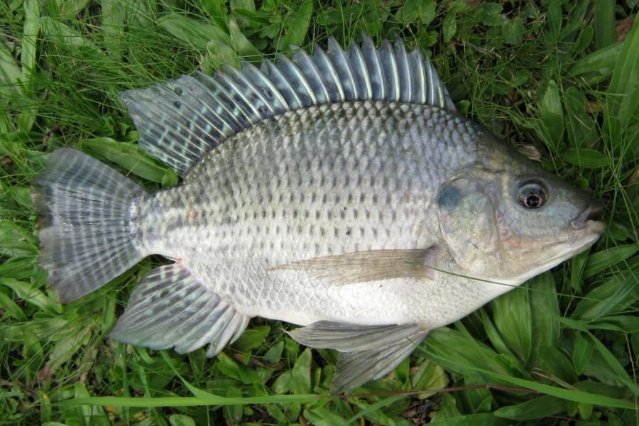 ikan air tawar mujair