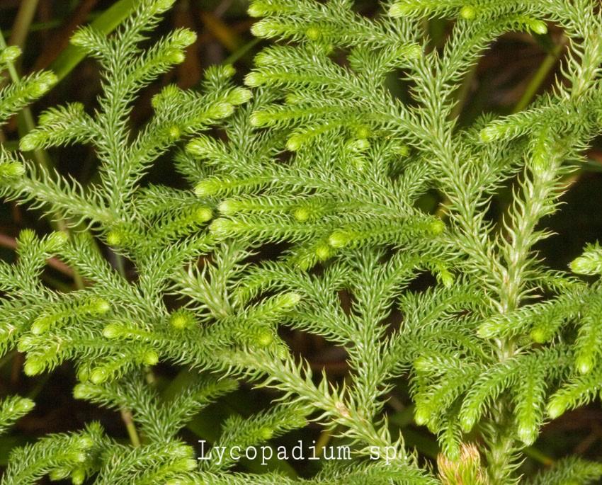 tumbuhan paku lipodium sp