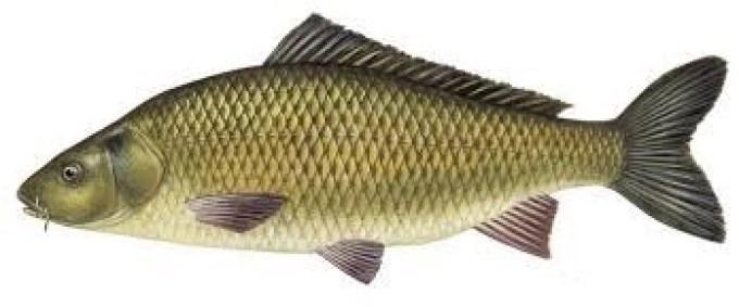 ikan air tawar mas