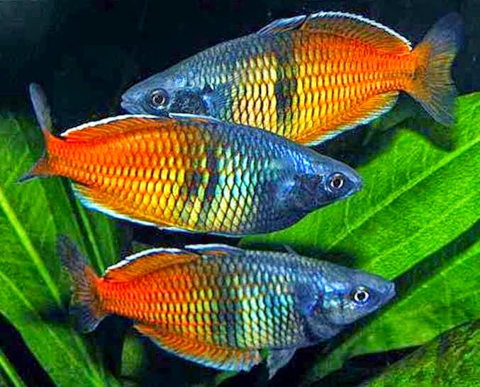 ikan air tawar pelangi