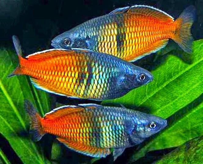 Unduh 99 Gambar Ikan Warna Pelangi Terbaru
