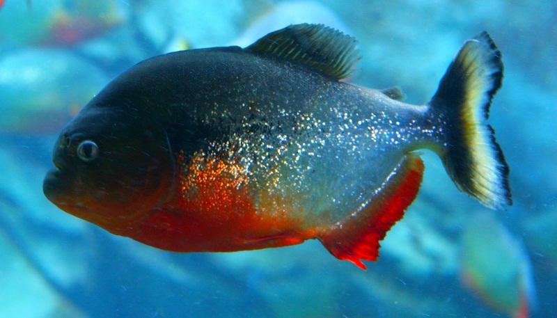 ikan air tawar piranha