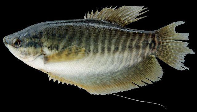 ikan air tawar sepat
