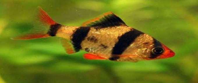 ikan air tawar sumatra