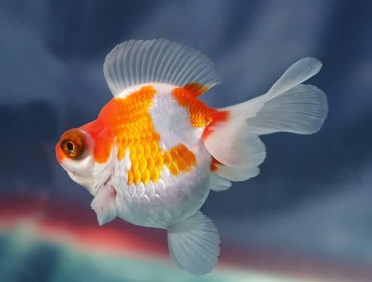 jenis ikan hias air tawar mas koki indah