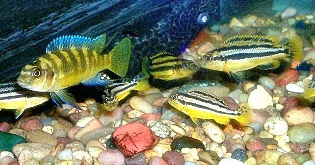 jenis ikan hias air tawar molly menarik