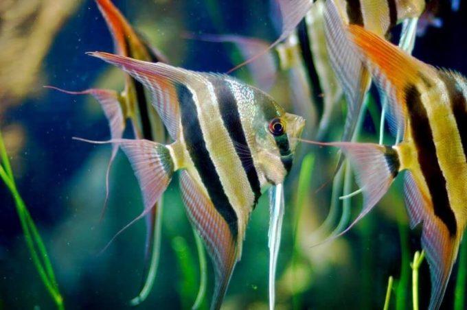 jenis ikan hias air tawar indah