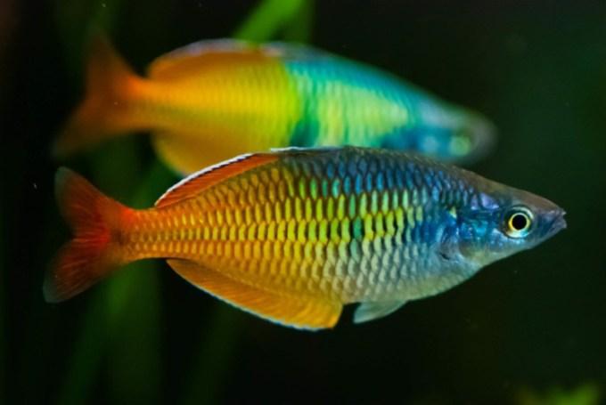 jenis ikan hias air tawar rainbow yang cantik