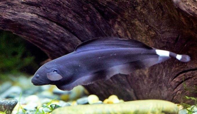 jenis ikan hiar air tawar black host yang menarik
