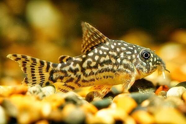 jenis ikan hias corydoras aquarium