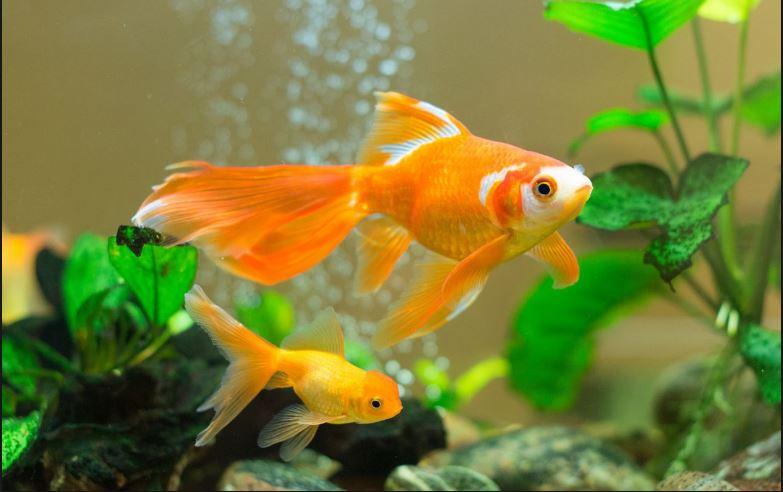 ikan hias air tawar terindah yang mudah dipelihara