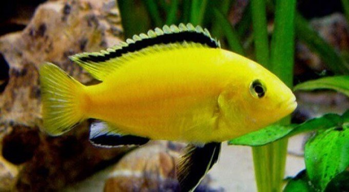jenis ikan hias air tawar lemon cantik