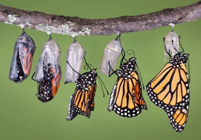Fase kupu-kupu