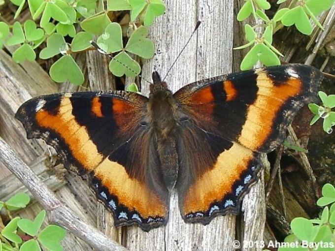 Milbert tortoiseshell butterfly