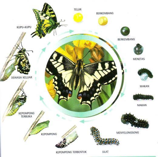 metamorfosis kupu-kupu sempurna