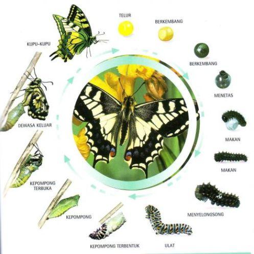 82 Hewan Metamorfosis Sempurna Beserta Gambarnya Terbaru