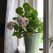 Pelargoner i fönstren