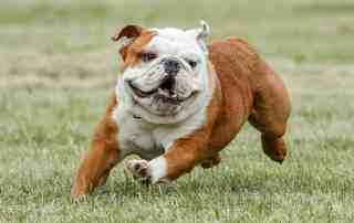 Bulldog Nurturing