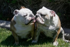 About Bulldogs
