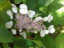 hydrangea blanc et mauve