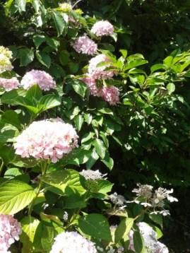 hortensias roses