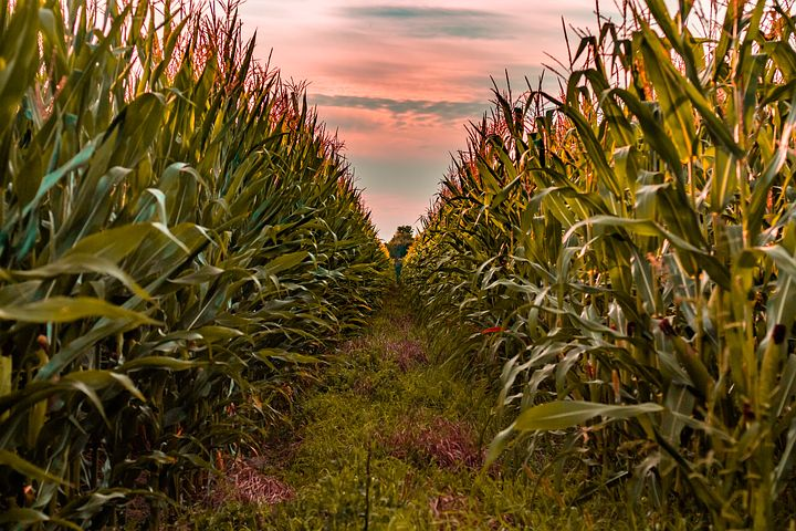 A Lesson on Morals from a Corn Field