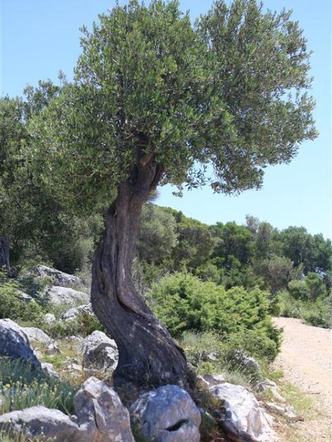 Olivenbaum, Kroatien