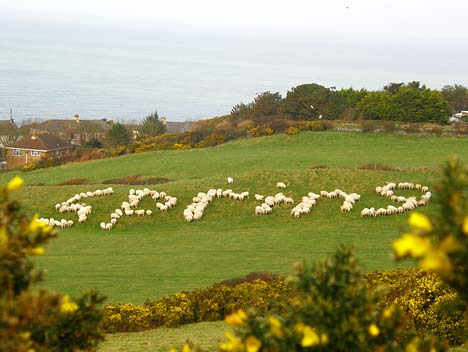 Springtime Sheep in Devon
