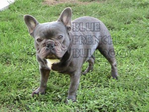 Blue French Bull Dog