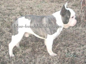 Blue pied French Bulldog