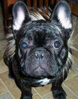 Cool Kirby, handsome French Bulldog