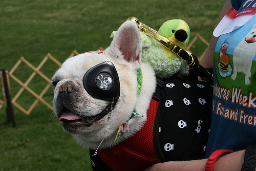 """Dread Pirate Lola says """"Avast, ye scurvy dogs - hand over yer cookies!"""""""