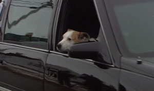 James Delorey's dog, Chance, sits in the front passenger seat of the hearse carrying the boy's casket to church on Monday.